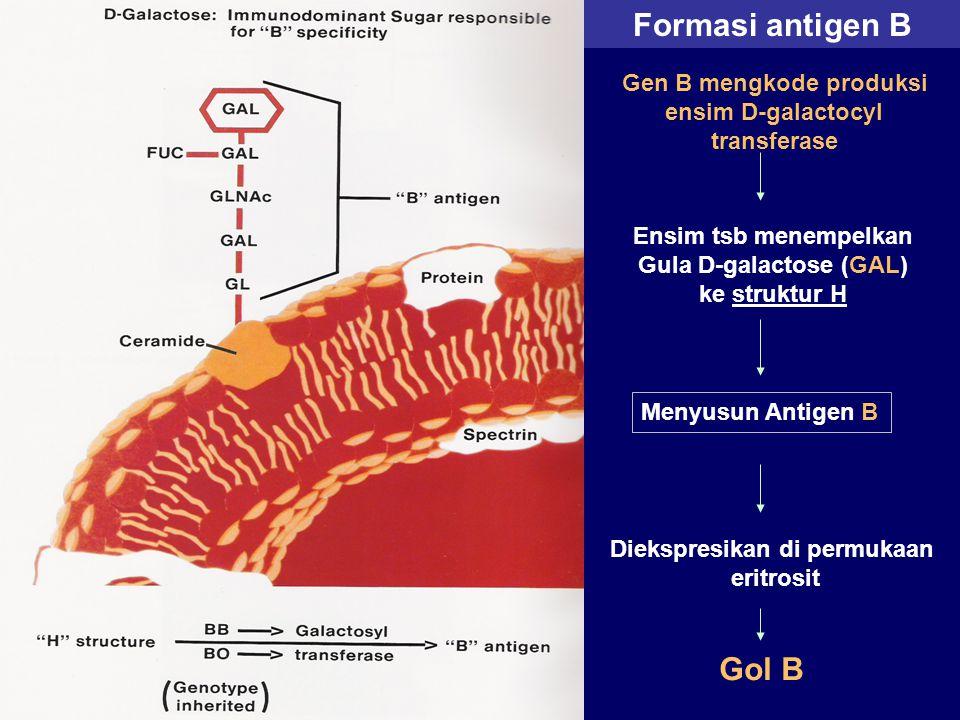 Formasi antigen B Gol B Gen B mengkode produksi ensim D-galactocyl