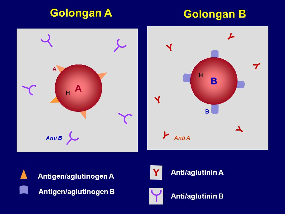 Golongan A Golongan B Y Y Y B A Y Y Y Y Anti/aglutinin A