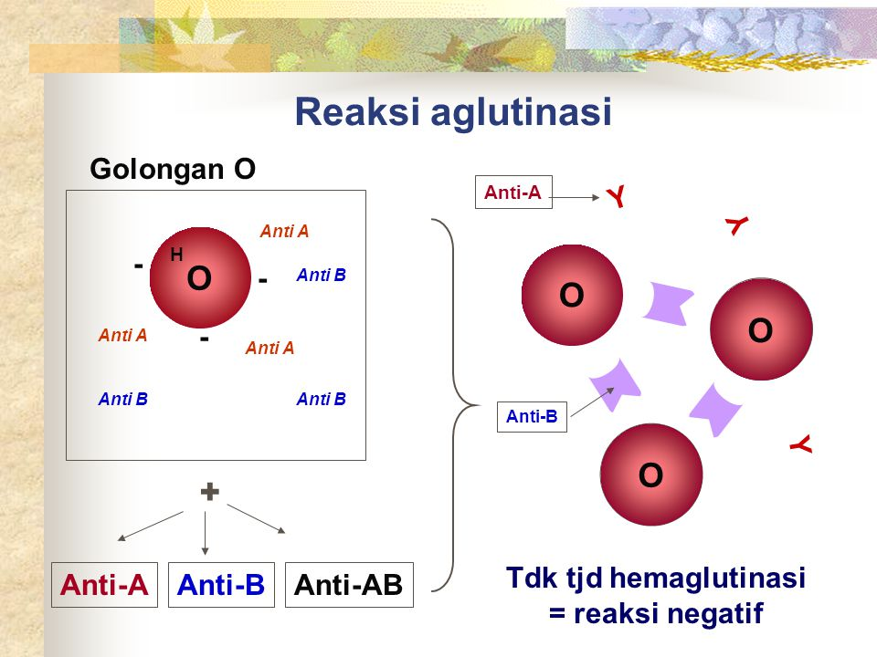 Reaksi aglutinasi O O O O + Golongan O Y Y - - - Y