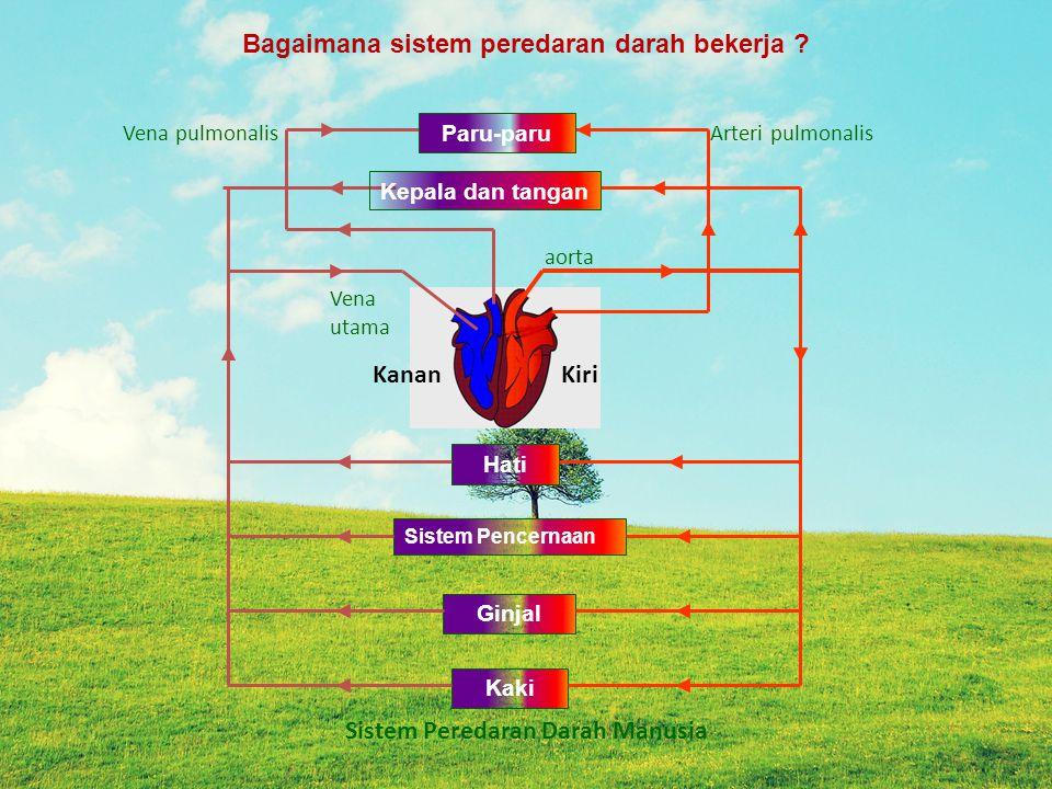 Bagaimana sistem peredaran darah bekerja