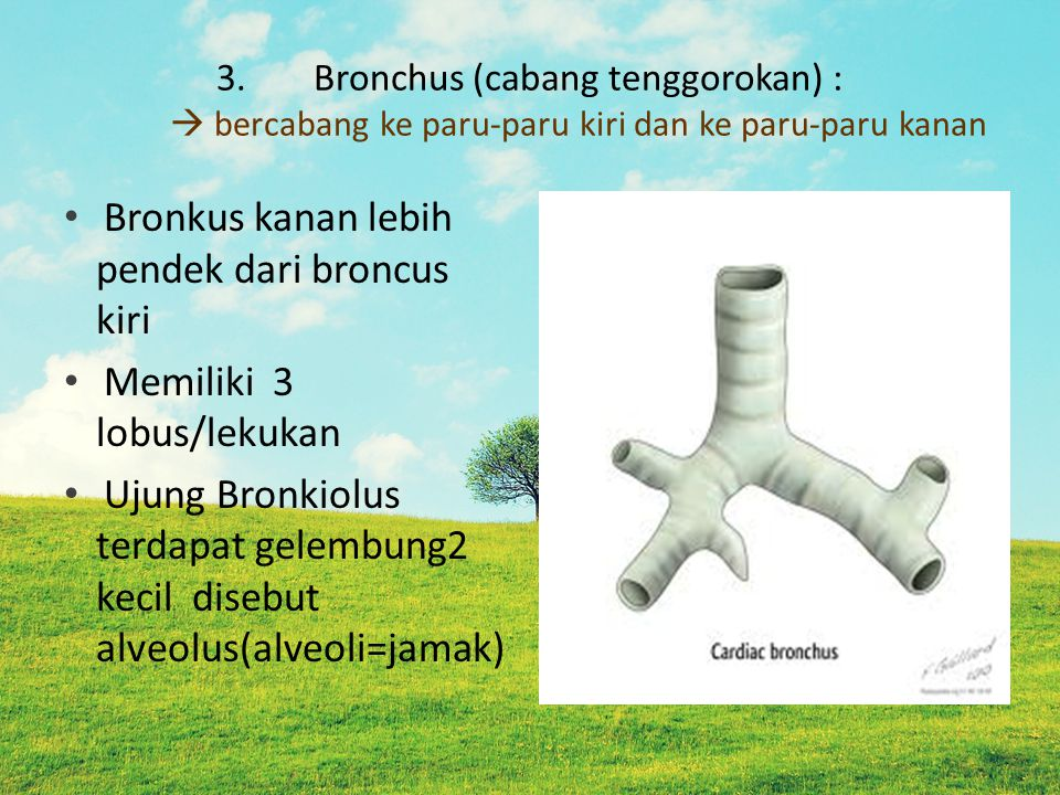 Bronkus kanan lebih pendek dari broncus kiri