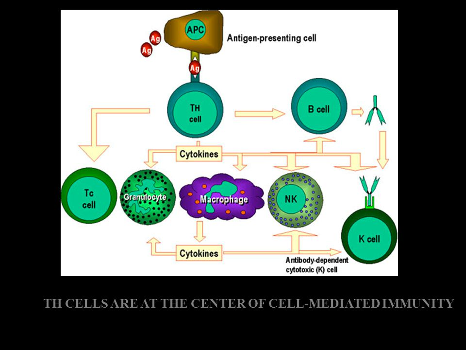 TH CELLS ARE AT THE CENTER OF CELL-MEDIATED IMMUNITY