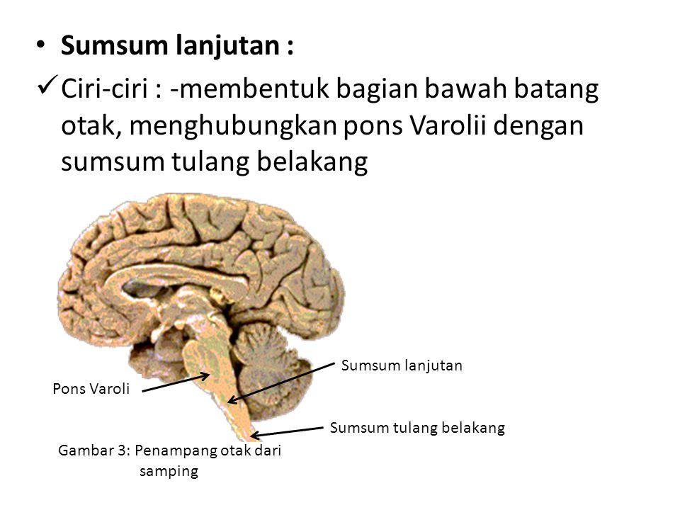 Sumsum lanjutan : Ciri-ciri : -membentuk bagian bawah batang otak, menghubungkan pons Varolii dengan sumsum tulang belakang.
