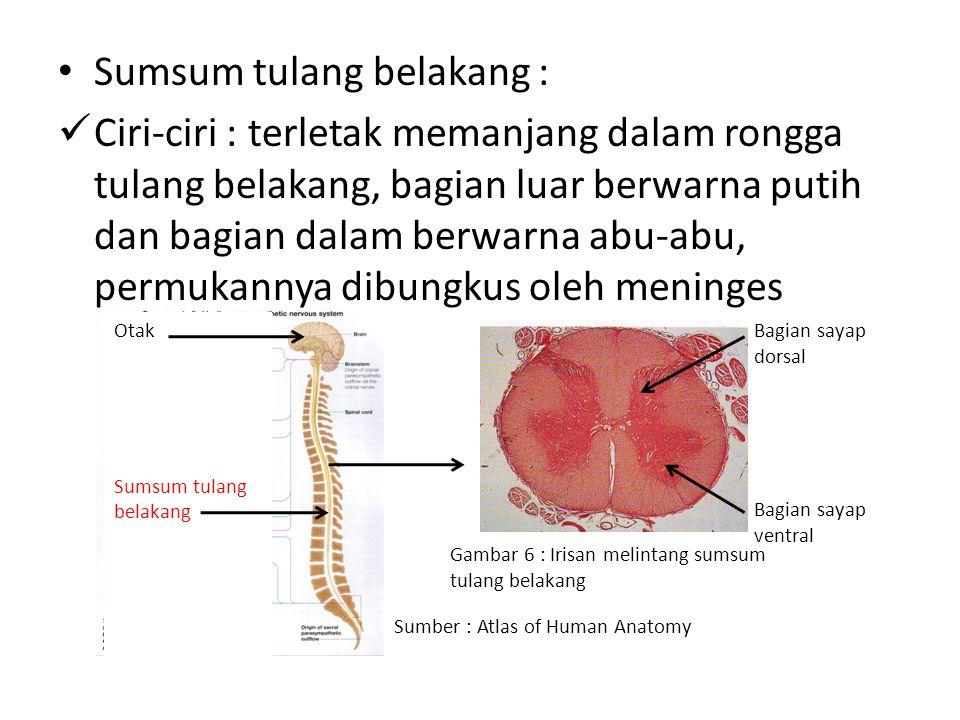 Sumsum tulang belakang :