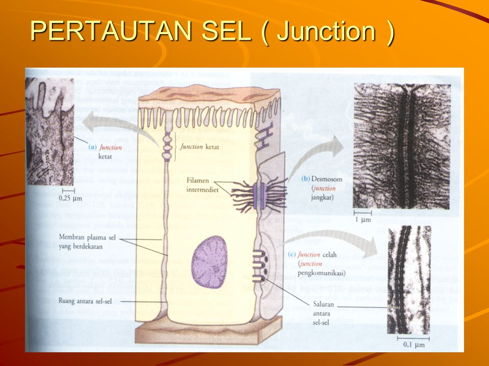 PERTAUTAN SEL ( Junction )