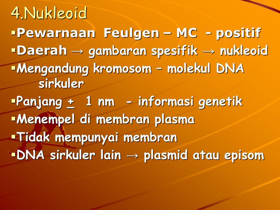 4.Nukleoid Pewarnaan Feulgen – MC - positif