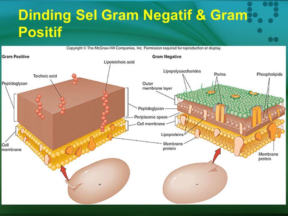 Dinding Sel Gram Negatif & Gram Positif