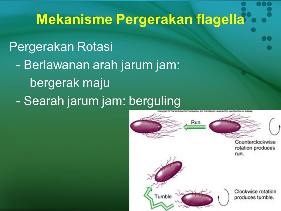 Mekanisme Pergerakan flagella