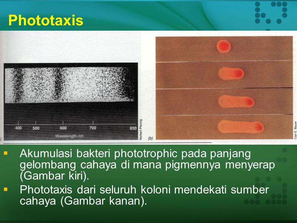 Phototaxis Akumulasi bakteri phototrophic pada panjang gelombang cahaya di mana pigmennya menyerap (Gambar kiri).