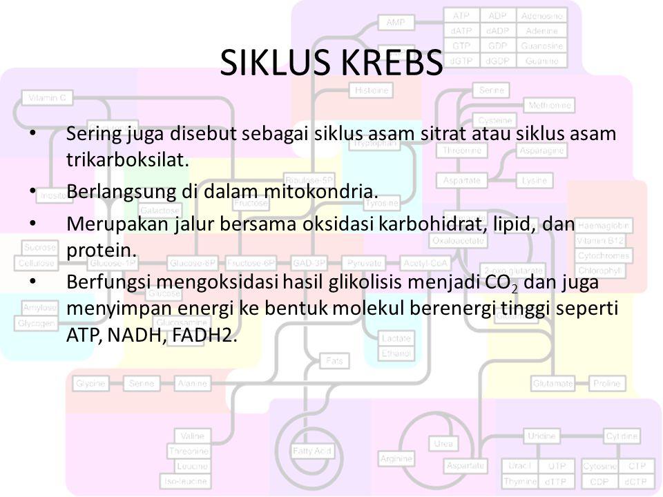 SIKLUS KREBS Sering juga disebut sebagai siklus asam sitrat atau siklus asam trikarboksilat. Berlangsung di dalam mitokondria.