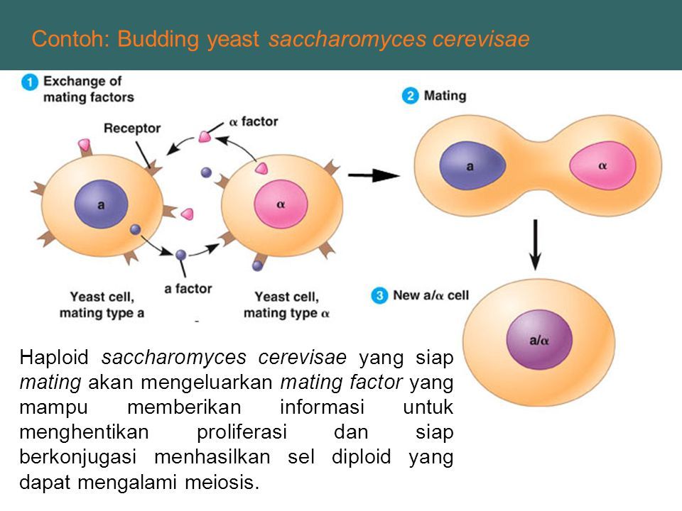 Contoh: Budding yeast saccharomyces cerevisae