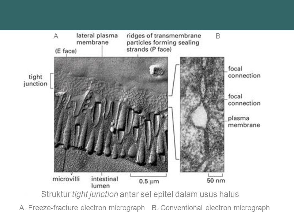 Struktur tight junction antar sel epitel dalam usus halus