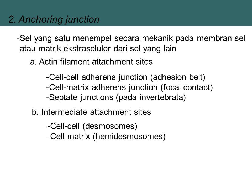 2. Anchoring junction Sel yang satu menempel secara mekanik pada membran sel atau matrik ekstraseluler dari sel yang lain.