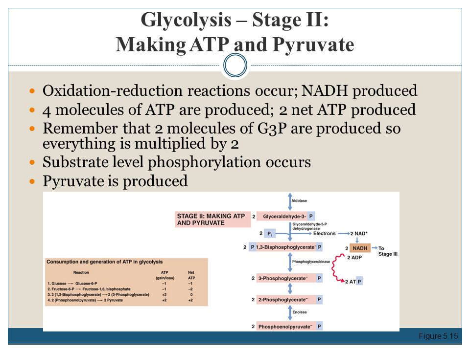 Glycolysis – Stage II: Making ATP and Pyruvate