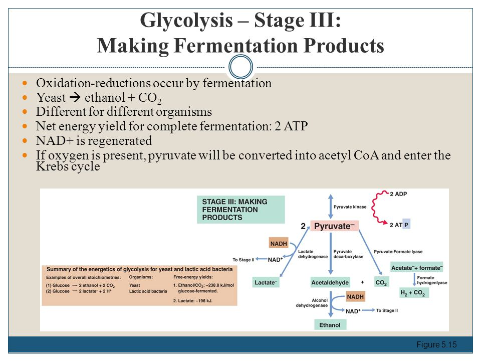 Glycolysis – Stage III: Making Fermentation Products