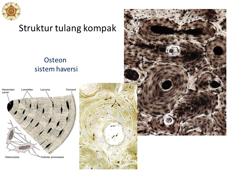 Struktur tulang kompak