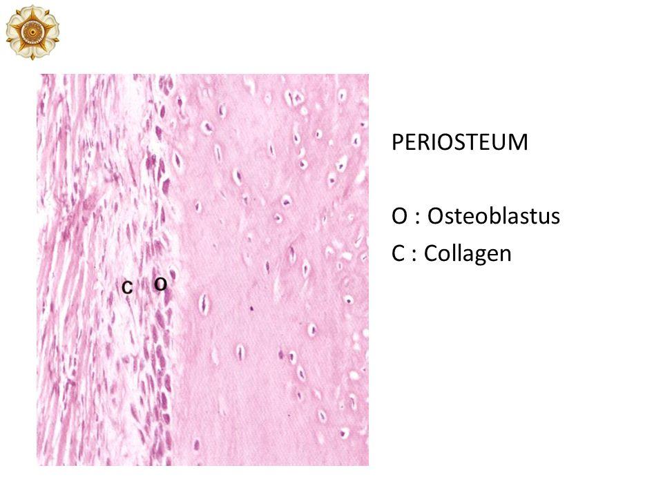 PERIOSTEUM O : Osteoblastus C : Collagen