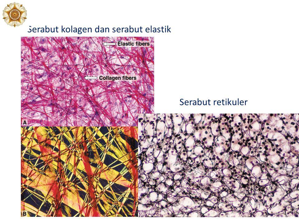 Serabut kolagen dan serabut elastik