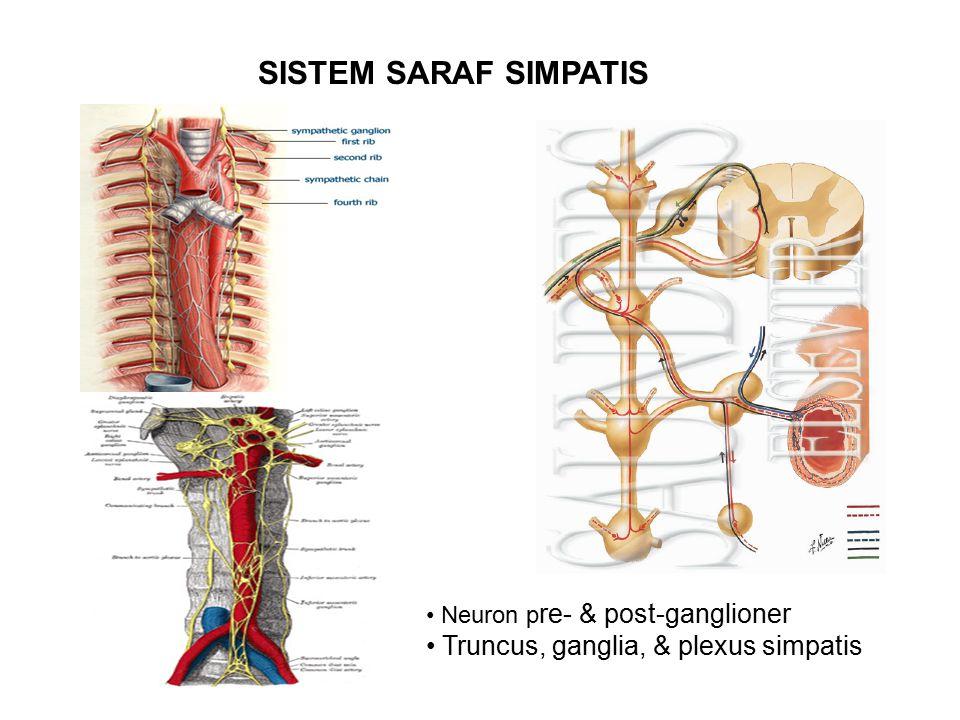 SISTEM SARAF SIMPATIS Truncus, ganglia, & plexus simpatis