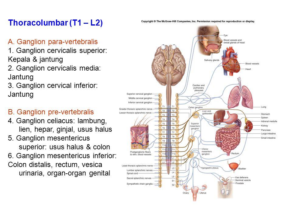 Thoracolumbar (T1 – L2) A. Ganglion para-vertebralis