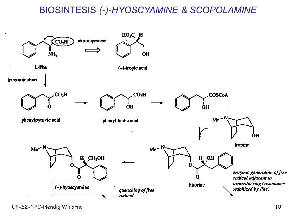 BIOSINTESIS (-)-HYOSCYAMINE & SCOPOLAMINE