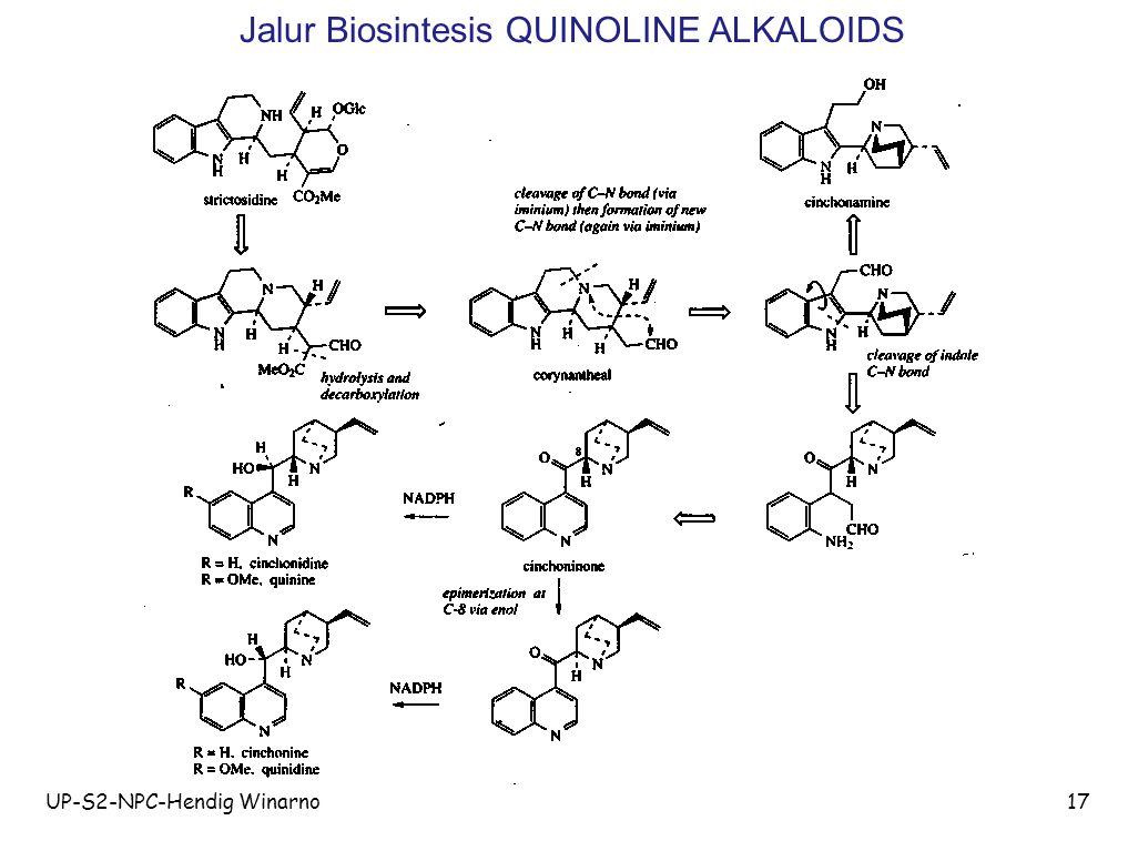 Jalur Biosintesis QUINOLINE ALKALOIDS