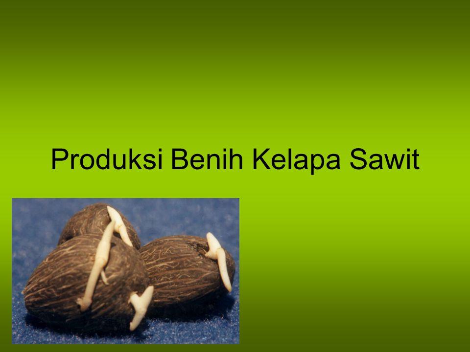 Produksi Benih Kelapa Sawit