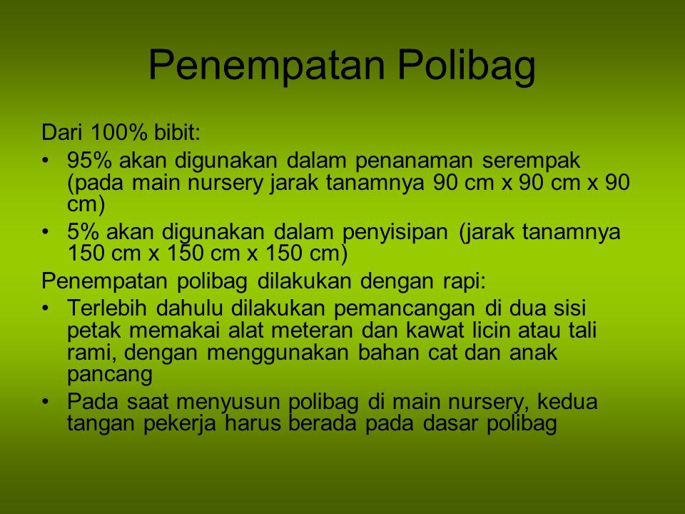 Penempatan Polibag Dari 100% bibit: