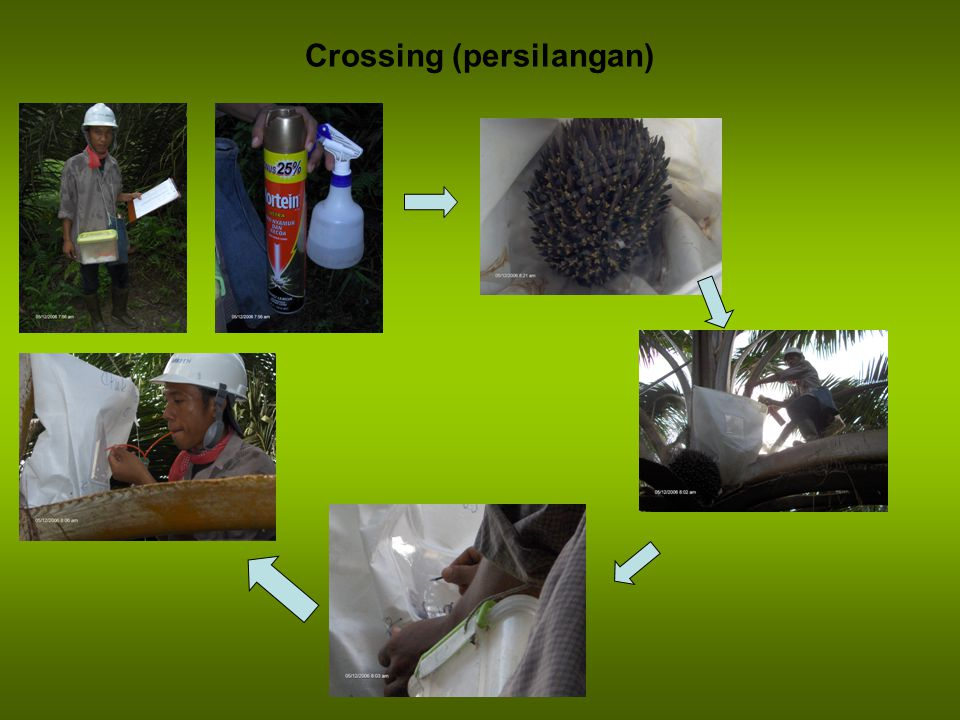 Crossing (persilangan)
