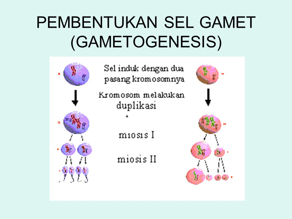 PEMBENTUKAN SEL GAMET (GAMETOGENESIS)