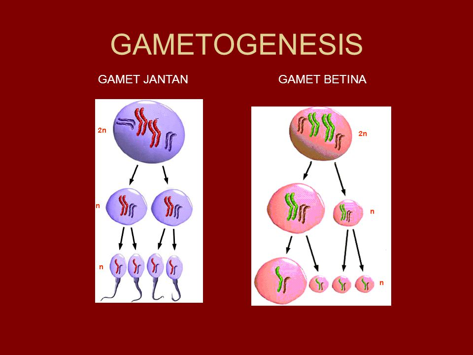 GAMETOGENESIS GAMET JANTAN GAMET BETINA