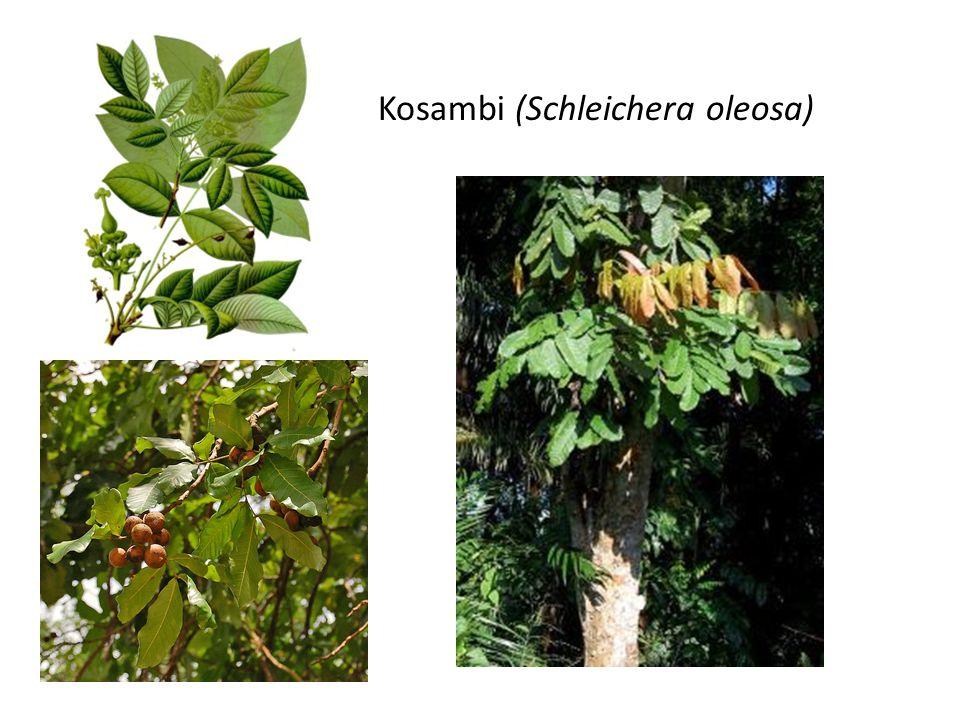 Kosambi (Schleichera oleosa)