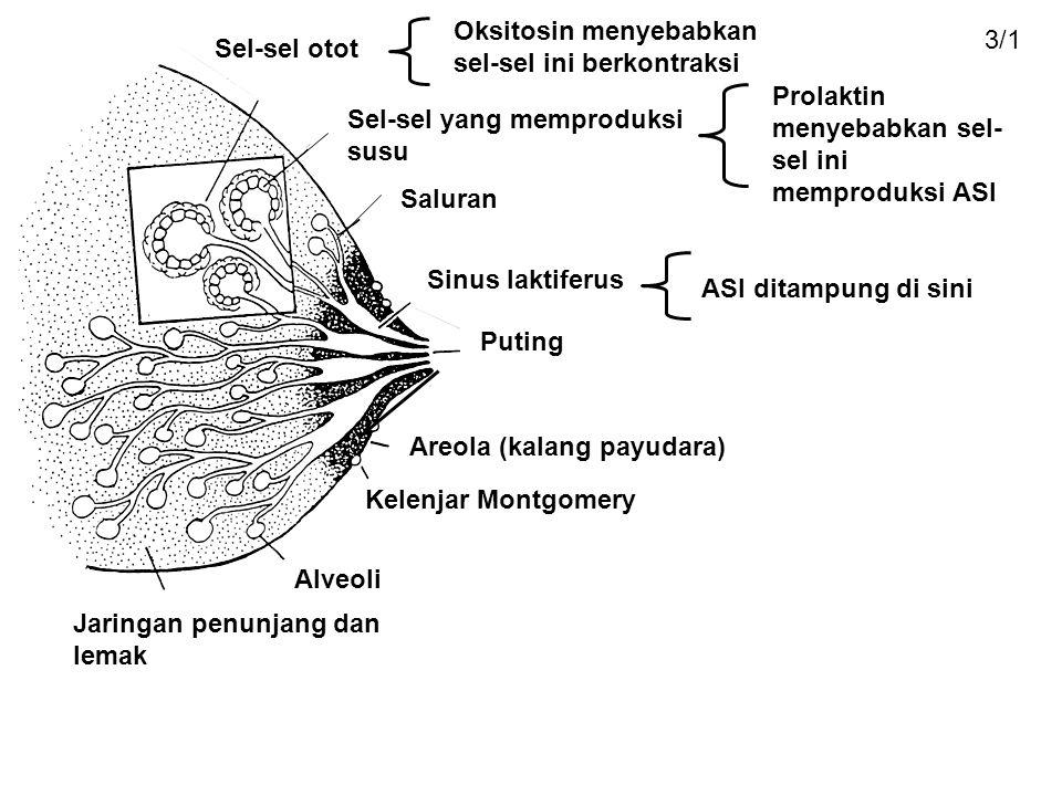 Oksitosin menyebabkan sel-sel ini berkontraksi 3/1 Sel-sel otot