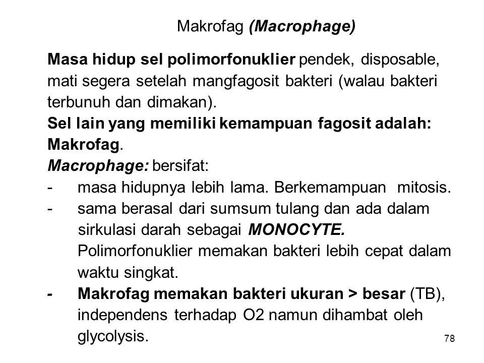 Makrofag (Macrophage)