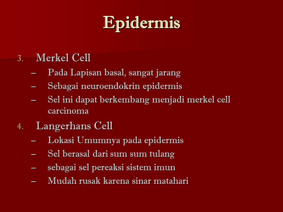 Epidermis Merkel Cell Langerhans Cell
