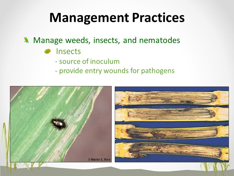 Management Practices Manage weeds, insects, and nematodes Insects