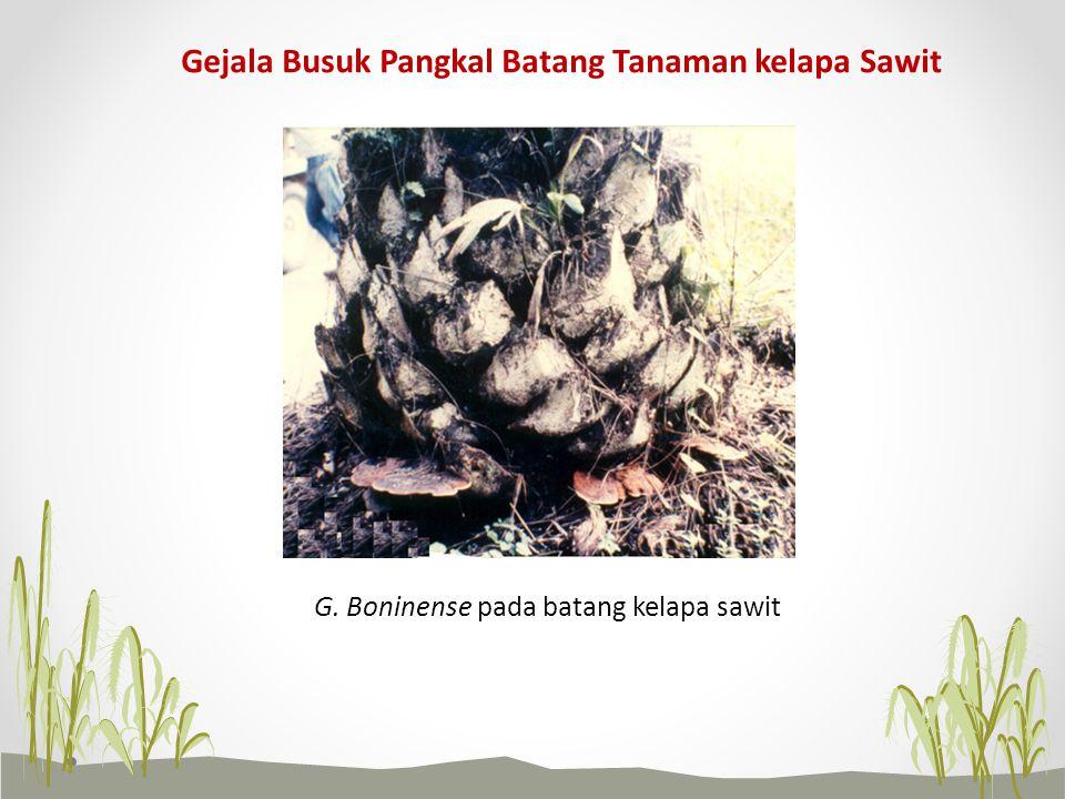Gejala Busuk Pangkal Batang Tanaman kelapa Sawit