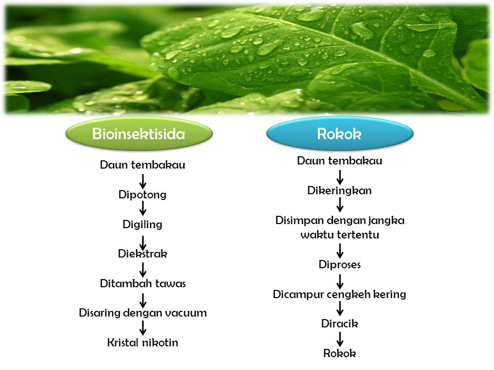 Bioinsektisida Rokok Daun tembakau Daun tembakau Dikeringkan Dipotong