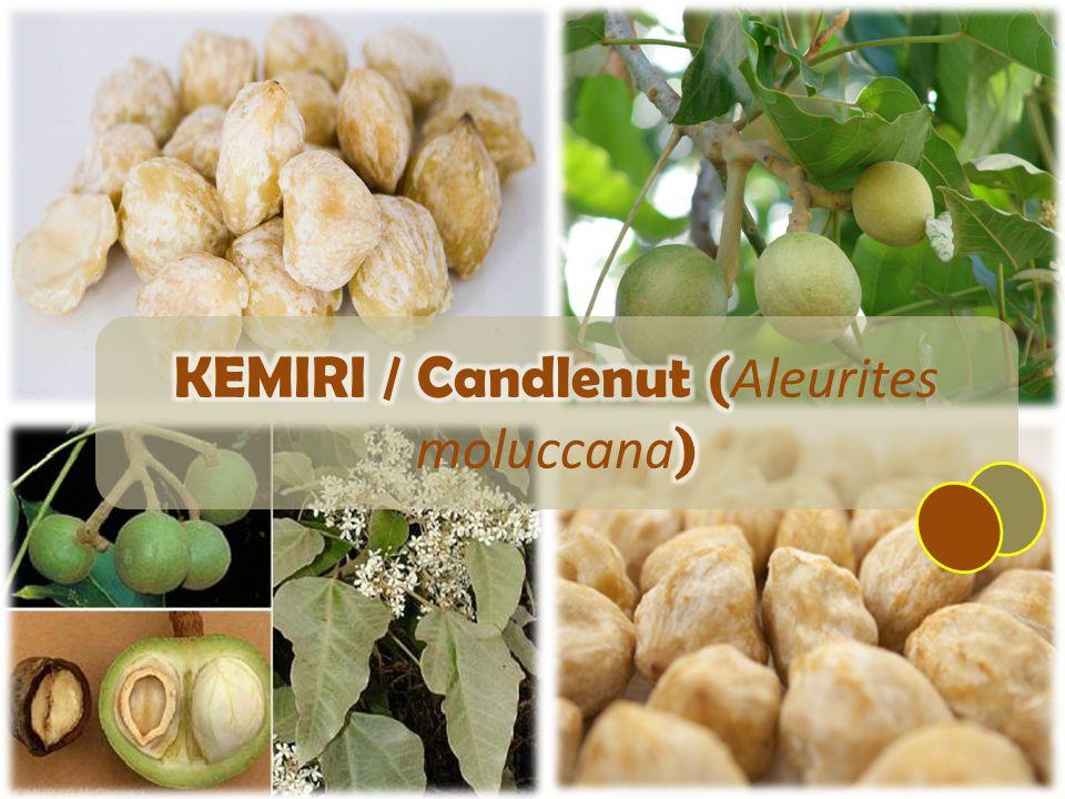 KEMIRI / Candlenut (Aleurites moluccana)