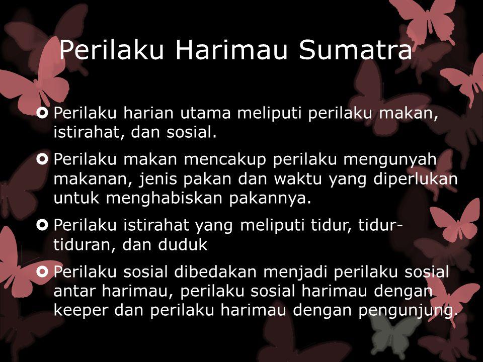 Perilaku Harimau Sumatra