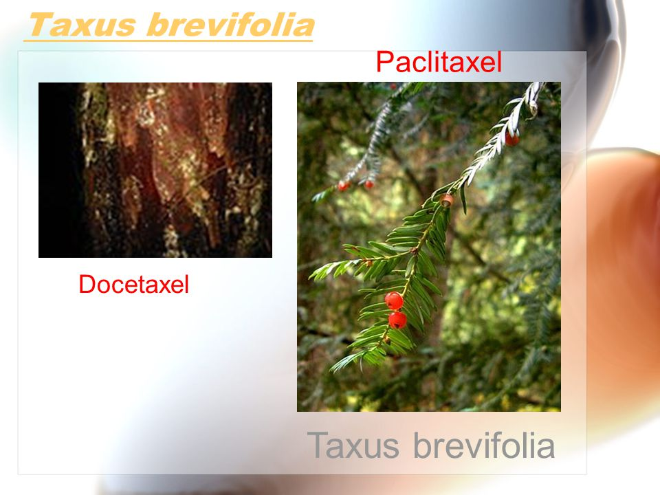 Taxus brevifolia Paclitaxel Docetaxel Taxus brevifolia
