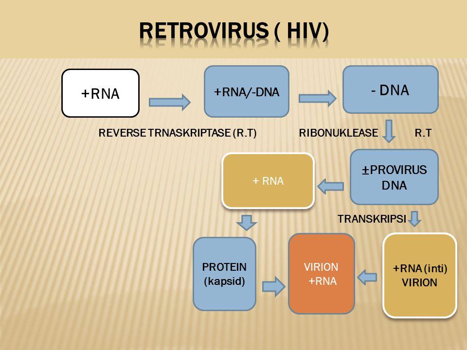 RETROVIRUS ( HIV) REVERSE TRNASKRIPTASE (R.T) RIBONUKLEASE R.T - DNA