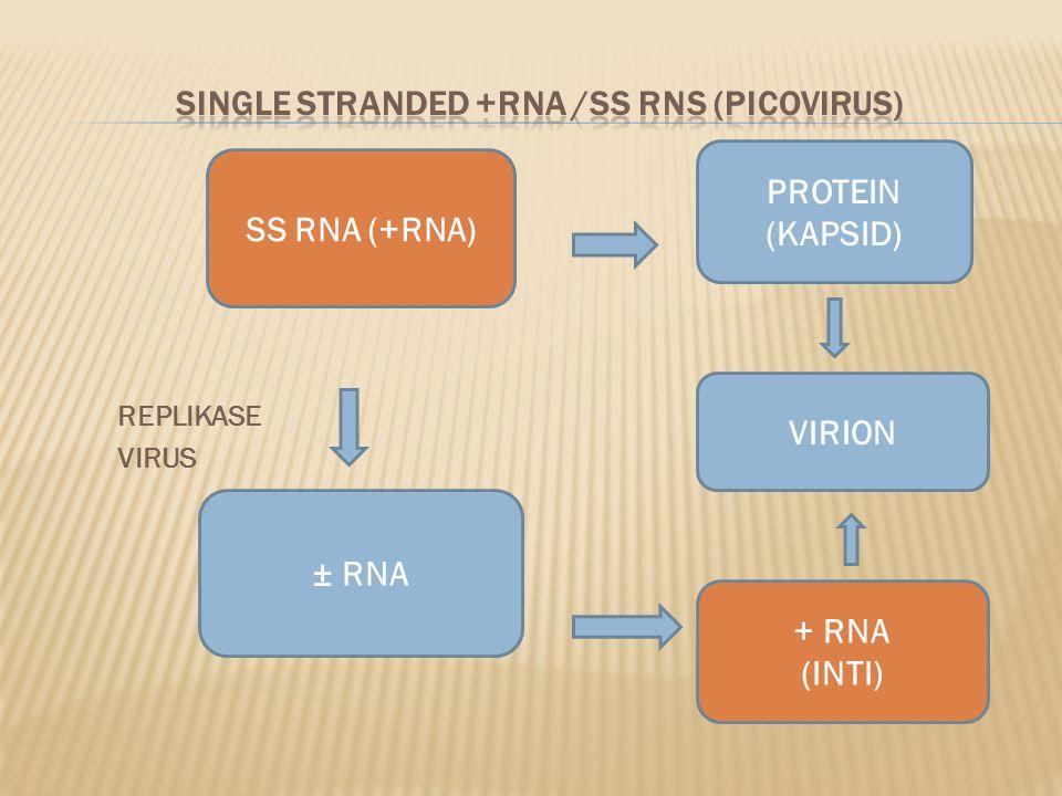 SINGLE STRANDED +RNA /SS RNS (PICOVIRUS)