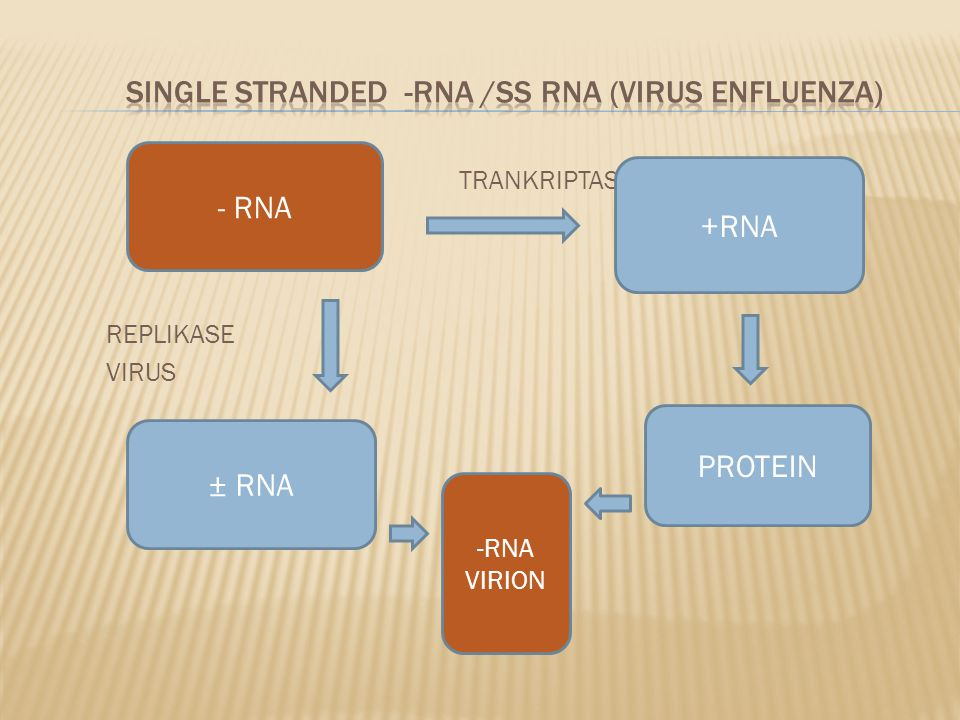 SINGLE STRANDED -RNA /SS RNA (VIRUS ENFLUENZA)