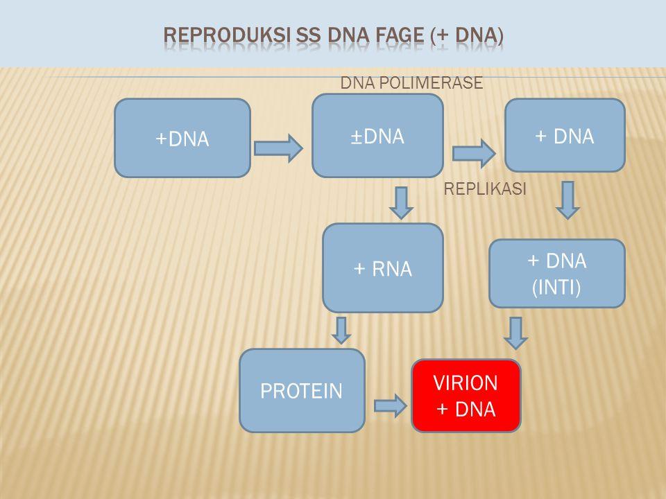 REPRODUKSI SS DNA FAGE (+ DNA)