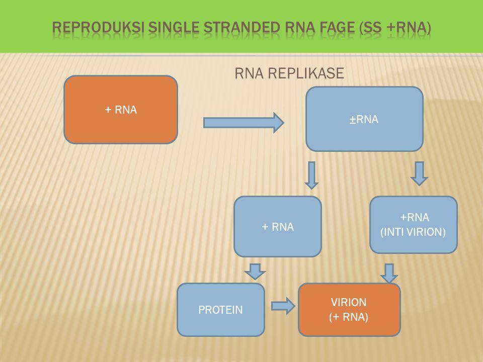 REPRODUKSI SINGLE STRANDED RNA FAGE (SS +RNA)