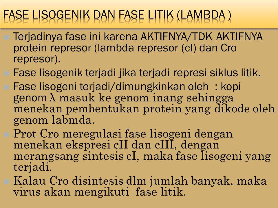 Fase lisogenik dan fase litik (lambda )