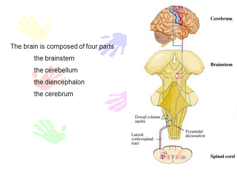 The brain is composed of four parts