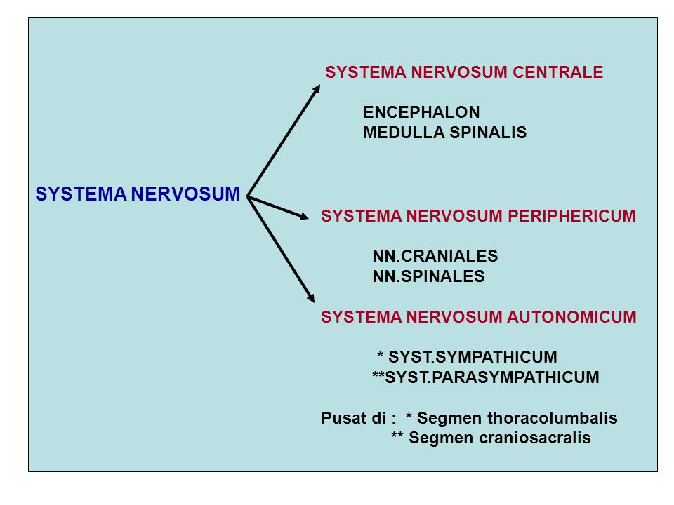 SYSTEMA NERVOSUM SYSTEMA NERVOSUM CENTRALE ENCEPHALON MEDULLA SPINALIS
