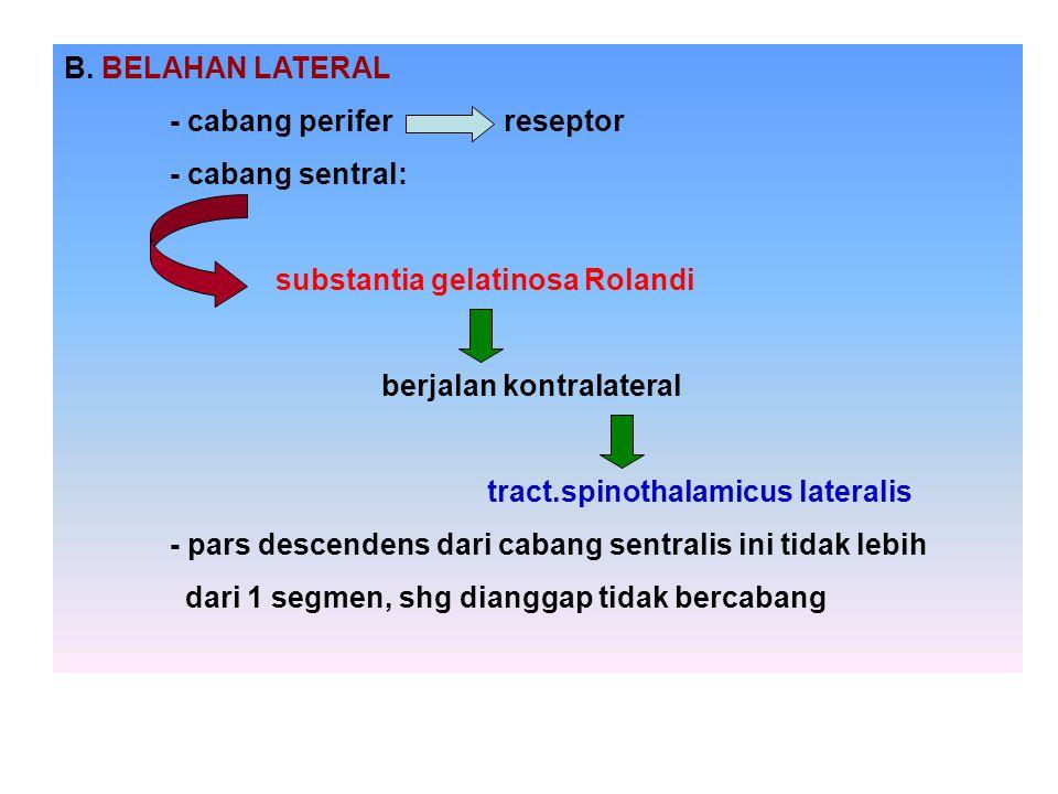 B. BELAHAN LATERAL - cabang perifer reseptor. - cabang sentral: substantia gelatinosa Rolandi.